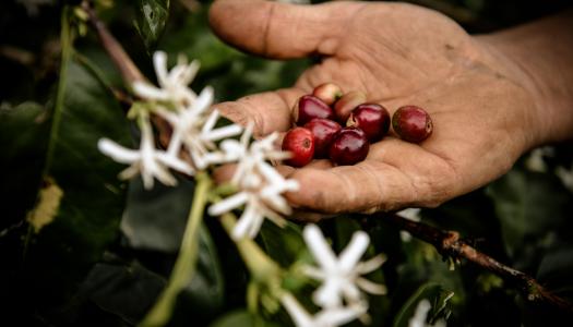 Cserjétől a csészéig – avagy hogyan készül a kávé?