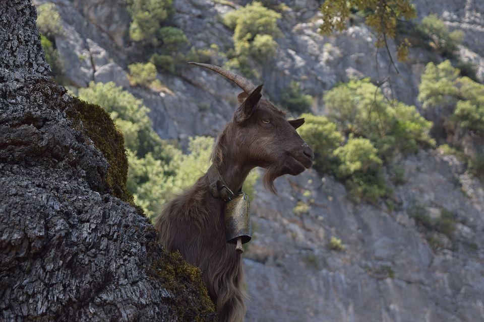 goat sardinia