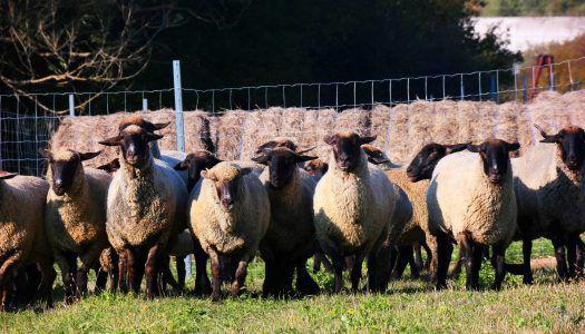 Komisz kecskék és angyali bárányok a St. Andrea birtokon