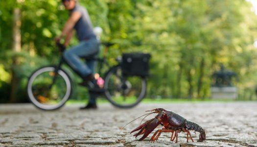 Berlinből jelentjük: Gasztromegoldás a parkokban masírozó rákok inváziója ellen